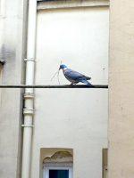 merlini.france.pigeon